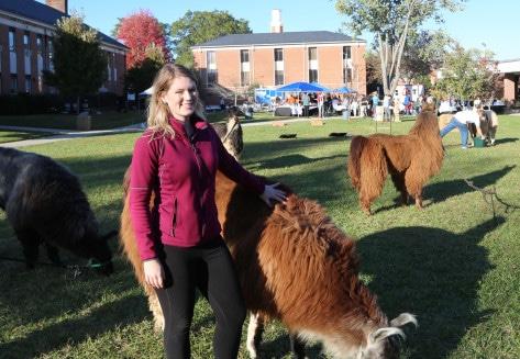 harvest festival llamas